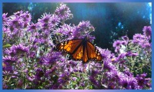 october-monarch-asters